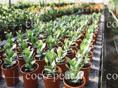 کوکوپیت در خاک آماده کشت و پرورش گیاهان آپارتمانی