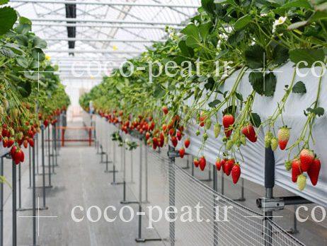 کشت هیدروپونیک با استفاده از کوکوپیت گلخانه پرورش توت فرنگی
